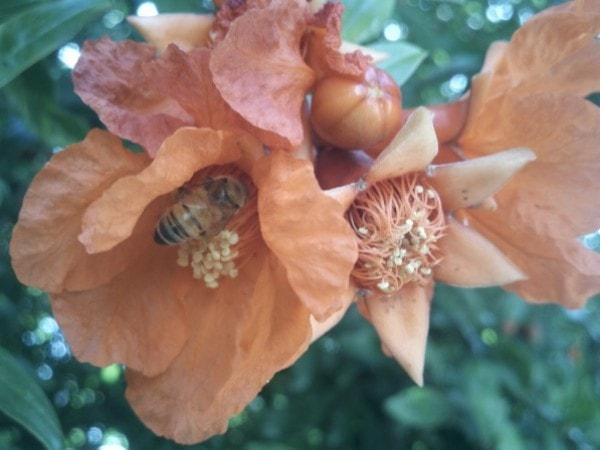 Bee with pomegranate