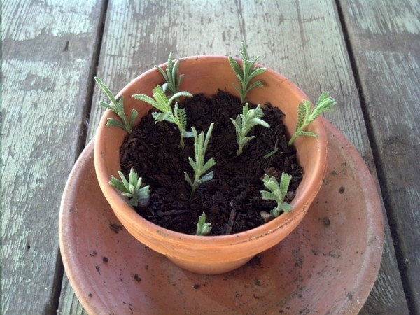Lavender Cuttings for propagating